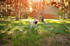 Dog breed pug Royalty Free Stock Image