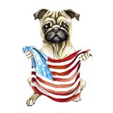 Dog breed pug holding a American flag. Isolated on white background. Politics. Puppy royalty free illustration