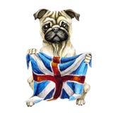 Dog breed pug holding a British flag. England. Isolated on white background. Politics. puppy stock illustration