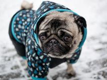 Dog breed pug in jacket. Lovely dog. royalty free stock photos