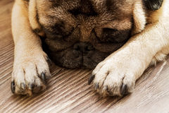 Dog breed pug sleeping on the floor from boards Royalty Free Stock Images