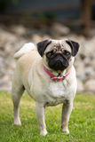 Dog breed pug Royalty Free Stock Images