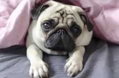 Dog breed pug under the pink blanket.  Royalty Free Stock Photos