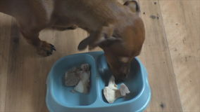 Dog of breed the rate eats bones stock video