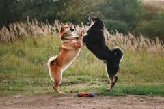 Dog breed red Japanese Shiba Stock Images