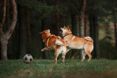 Dog breed red Japanese Shiba stock images