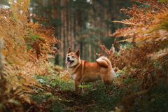 Dog breed red Japanese Shiba. Walking in autumn park Stock Image