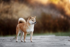 Dog breed red Japanese Shiba walking in park Stock Images