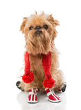 Dog breed in a red knit scarf and boots. Dog breed Brussels Griffon in a red knit scarf and boots, isolated on white royalty free stock photo