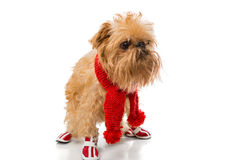Dog breed in a red knit scarf and boots. Dog breed Brussels Griffon in a red knit scarf and boots, isolated on white stock photo