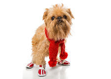 Dog breed in a red knit scarf and boots. Dog breed Brussels Griffon in a red knit scarf and boots, isolated on white royalty free stock image