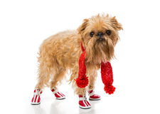 Dog breed in a red knit scarf and boots. Dog breed Brussels Griffon in a red knit scarf and boots, isolated on white royalty free stock images