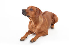 Dog breed Rhodesian Ridgeback isolated on a white background Stock Photography