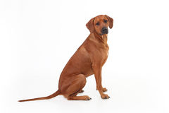 Dog breed Rhodesian Ridgeback isolated on a white background Stock Photos