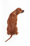 Dog breed Rhodesian Ridgeback isolated on a white background Stock Images