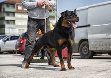 Dog breed rottweiler. In a defensive pose Royalty Free Stock Photos