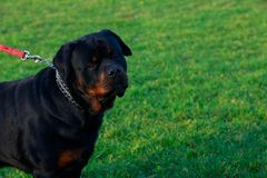 Dog breed Rottweiler. In park on green grass stock photos