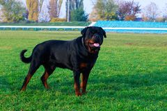 Dog breed Rottweiler. In park on green grass stock photography