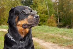 Dog of breed rottweiler in glasses Stock Photography