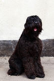 Dog breed Russian Black Terrier. Sitting outdoors Royalty Free Stock Image