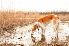 Dog of the breed a Russian greyhound standing in a lake stock photo