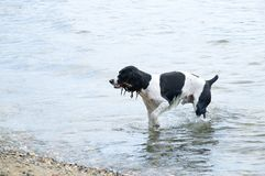 dog breed Russian spaniel bathes in the sea stock images