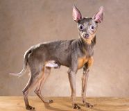 Russian Toy Terrier Stock Images