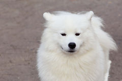 Dog breed Samoyed Stock Images