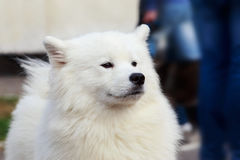Dog breed Samoyed Royalty Free Stock Photography
