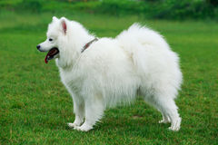 Dog breed Samoyed. On a green grass Stock Photography