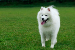 Dog breed Samoyed. On a green grass Royalty Free Stock Photography