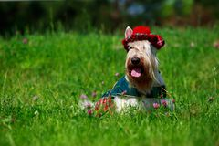 Scottish Terrier breed dog royalty free stock photography