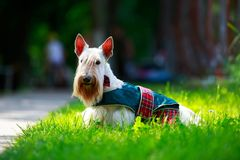 Scottish Terrier breed dog stock images