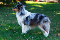 Dog breed Sheltie. The dog breed Sheltie on a green grass Stock Images