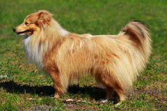 Dog breed Sheltie. The dog breed Sheltie on a green grass Stock Photo