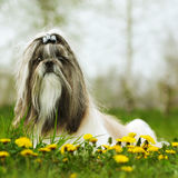 Dog breed Shi tzu sitting. On the grass in the spring with dandelions stock image