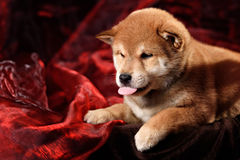 Dog breed Shiba Inu puppy Stock Photography