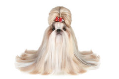 Dog of breed shih-tzu. On a white background royalty free stock images