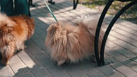 Dog breed Shih Tzu barking at the camera. Close up. Then another dog comes running.