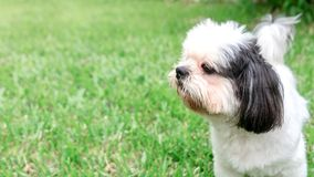 Dog breed Shih-Tzu Brown fur That is in the garden of grass. And there is a cute chubby-looking shape and was lying comfortably Stock Image