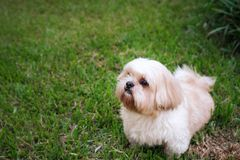 Dog breed Shih-Tzu Brown fur That is in the garden of grass. And there is a cute chubby shape and are waiting for us to play stock photography