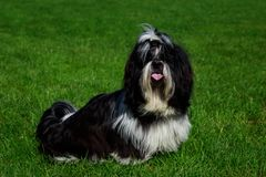 Dog breed Shih Tzu. Is sitting on green grass stock photos