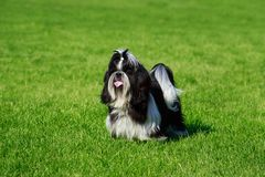 Dog breed Shih Tzu. Is sitting on green grass royalty free stock photo