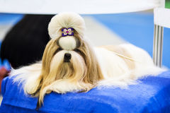 Dog of breed shih-tzu lying on blue pillow. Beautifull shih tzu with barrette on head royalty free stock photos