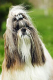 Dog breed Shih Tzu. Portrait in the wind royalty free stock photo
