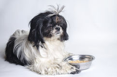 Dog breed shih tzu on a white royalty free stock images