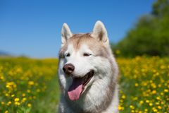 Dog breed siberian husky is in the buttercup field in summer on the yellow flowers, green grass and blue sky background. Close-up Portrait of A beige and white stock photo
