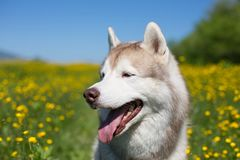 Dog breed siberian husky is in the buttercup field in summer on the yellow flowers, green grass and blue sky background. Profile Portrait of A dog breed siberian stock image