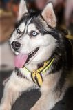 Dog breed Siberian Husky. Siberian Husky dog breed, the factory is a specialized breed registered by the American kinologami in the 30 years of 20 century as a Stock Image