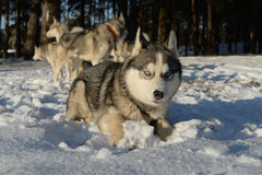 Dog breed Siberian Husky lying in the snow Stock Photography